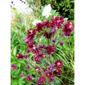 Orlik pospolity 'Ruby Port' (Aquilegia Ruby Port)