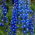 Ostróżka Pacific 'Blue Bird' (Delphinium pacific)