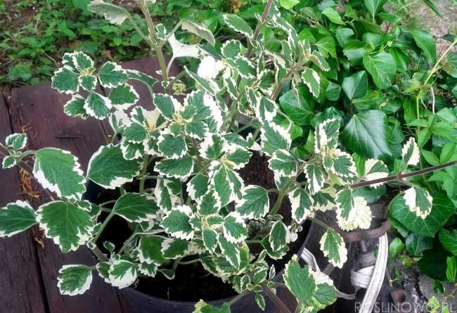 Komarzyca- Plektrantus koleusowaty (Plectranthus forsteri)