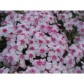Floks szydlasty 'Coral Eye' (Phlox subulata 'Coral Eye')
