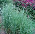 Proso rózgowate 'Prairie Sky' (Panicum virgatum)