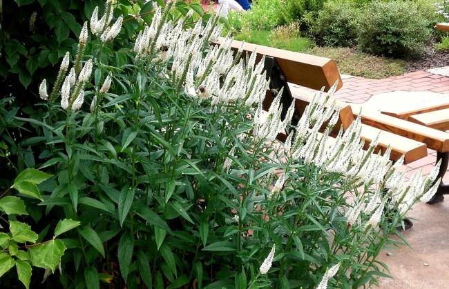 Przetacznik długolistny 'First Lady' (Veronica longifolia)