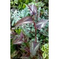 Rdest 'Red Dragon' (Persicaria microcephala 'Red Dragon')