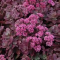 Rozchodnik Sunsparkler 'Firecracker' (Sedum Sunsparkler Firecracker)