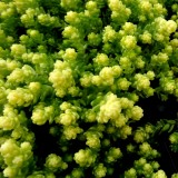 Rozchodnik ostry 'Yellow Queen' (Sedum acre)