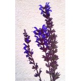 Szałwia omszona 'Night Field' (Salvia nemorosa)