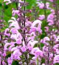 Szałwia łąkowa 'Rose Rhapsody' (Salvia pratensis)