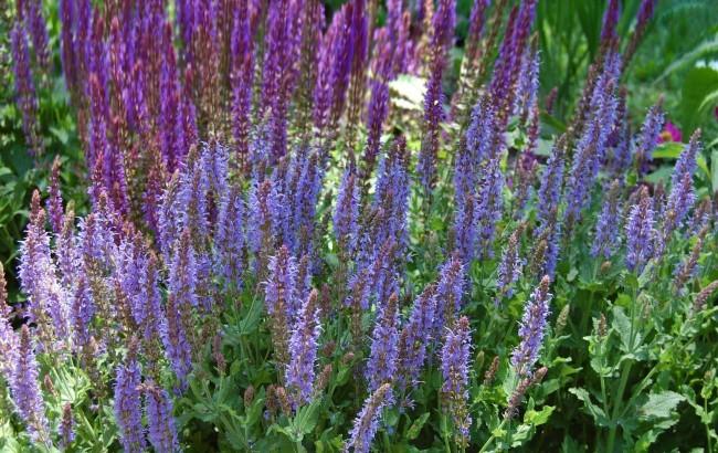 Szałwia omszona 'Salute Deep Blue' (Salvia nemorosa)