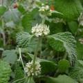 Szanta zwyczajna (Marrubium vulgare)