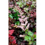 Tawułka 'Color Flash' (Astilbe)