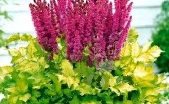 Tawułka 'Thunder and Lightning' (Astilbe)
