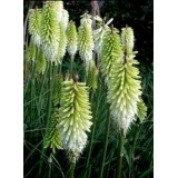 Trytoma 'Ice Queen' (Kniphofia 'Ice Queen')