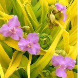 Trzykrotka ogrodowa 'Sunshine Charm' (Tradescantia x hybrida)
