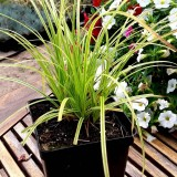 Turzyca 'Gold Fountain' (Carex dolichostachya)