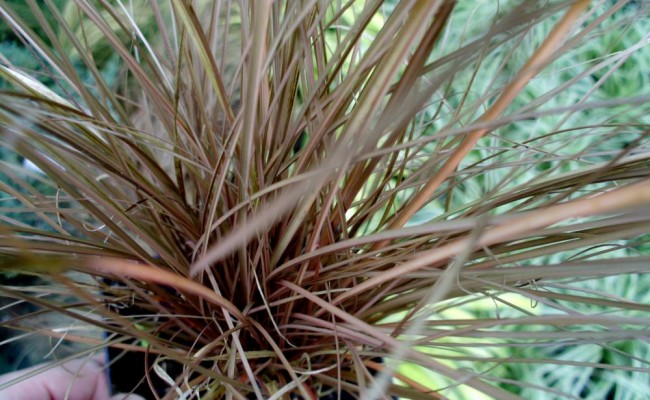 Turzyca petriego 'Milk Chocolate' (Carex petrieri)