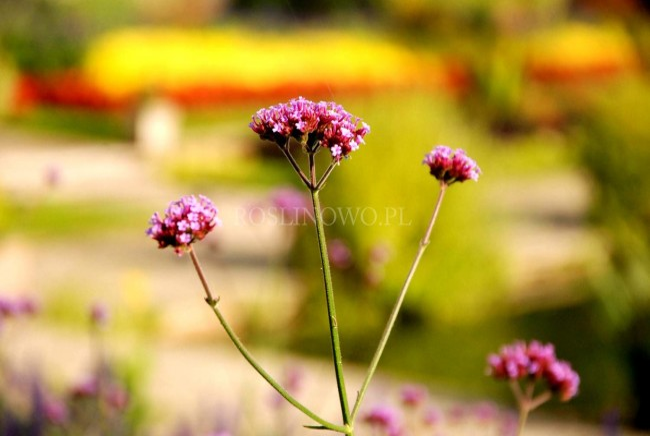 Werbena patagońska 'Little One' (Verbena bonariensis)