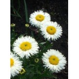Złocień wielki 'Real Galaxy' (Leucanthemum x superbum Real Galaxy)