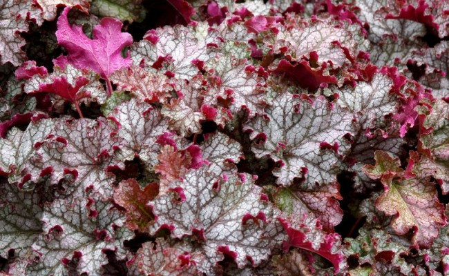 Żurawka 'Can Can' (Heuchera)
