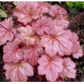 Żurawka 'Georgia Peach' (Heuchera)