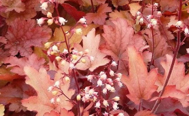 Żurawka 'Peach Flambe' (Heuchera)