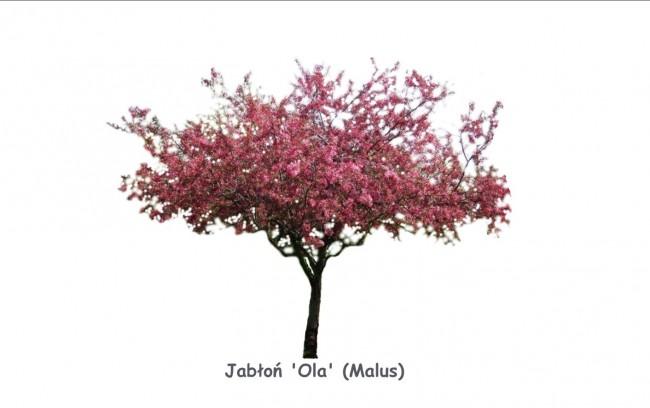 Jabłoń 'Ola' DUŻE SADZONKI', obwód pnia 12-14 cm, wysokość 300-350 cm (Malus)