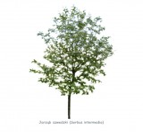 Jarząb szwedzki DUŻE SADZONKI 450-500 cm, obwód pnia 16-18 cm (Sorbus intermedia)