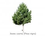Sosna czarna DUŻE SADZONKI 180-200 cm (Pinus nigra)
