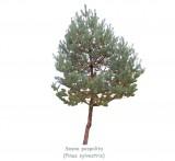 Sosna pospolita DUŻE SADZONKI 250-300 cm (Pinus sylvestris)