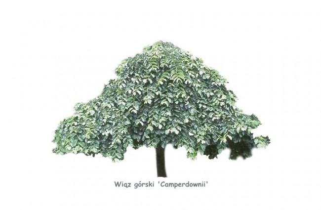 Wiąz górski 'Camperdownii' DUŻE SADZONKI Pa 250-300 cm, obwód pnia 14-16 cm (Ulmus glabra)