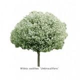 Wiśnia osobliwa 'Umbraculifera' DUŻE SADZONKI Pa 180-220 cm, obwód pnia 16-18 cm (Prunus x eminens)