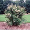 Ligustr pospolity ŻYWOPŁOT (Ligustrum vulgare)