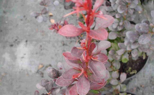 Berberys Thunberga 'Atropurpurea Nana' (Berberis thunbergii)