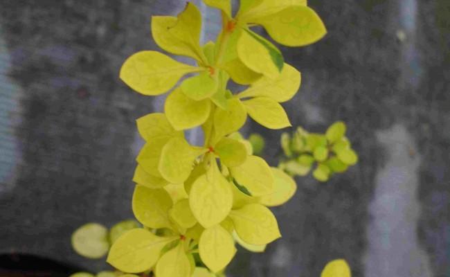 Berberys Thunberga 'Aurea' (Berberis thunbergii)
