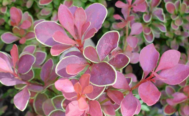 Berberys Thunberga 'Golden Ring' (Berberis thunbergii)