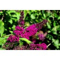 Budleja Dawida 'Royal Red' (buddleja davidii)