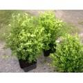 Bukszpan  wieczniezielony 30-40 cm (Buxus sempervirens)
