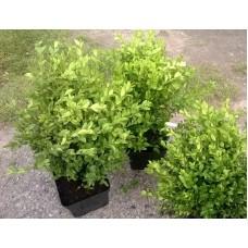 Bukszpan wieczniezielony 40-50 cm  (Buxus sempervirens)