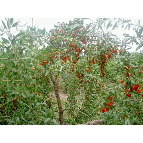 Dom w jab onkach krzew jagody goi for Jagody goji w tabletkach