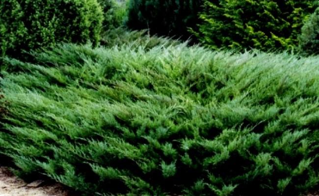 Jałowiec sabiński 'Tamariscifolia' (Juniperus sabina)