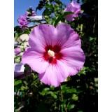 Ketmia syryjska (Hibiscus syriacus)