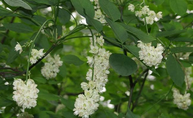 Kłokoczka południowa (Staphylea pinnata)