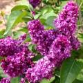 Lilak pospolity, syn. bez lilak (Syringa vulgaris)