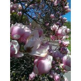 Magnolia Soulange'a/pośrednia  (Magnolia x soulangeana)