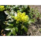 Mahonia pospolita (Mahonia aquifolium)