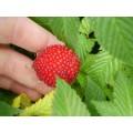 Malinotruskawka (Rubus illecebrosus)