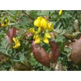 Moszenki południowe (Colutea arborescens)