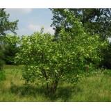 Parczelina trójlistkowa (Ptelea trifoliata)