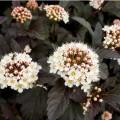 Pęcherznica kalinolistna 'Diabolo' (Physocarpus opulifolius)