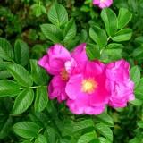 Róża pomarszczona (Rosa rugosa)
