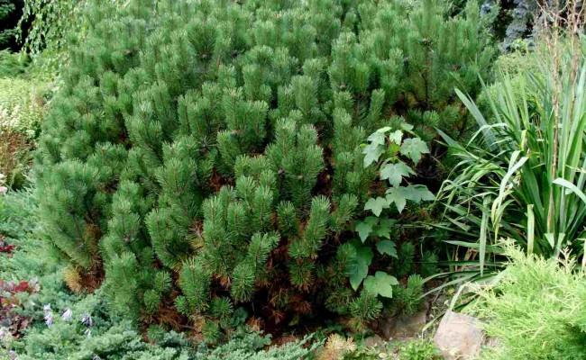 Sosna górska (Pinus mugo)